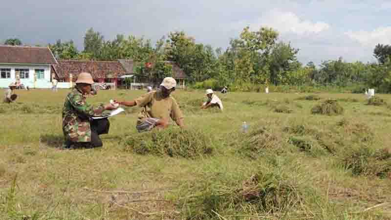 Suasana panen rumput di lapangan. Foto : Kandar