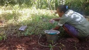 Panen Kacang Tanah dengan disiram air dahulu. KH/Sugeng