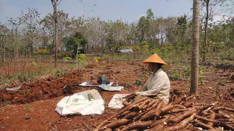 Petani membuat gaplek. Foto : Kandar