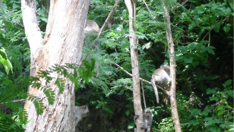 Kera ekor panjang (macaca fascilaris) di Kawasan Hutan Sodong Paliyan. KH/Kandar.