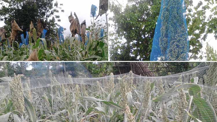 Berragam upaya petani Sorgum menanggulangi burung pemakan biji. KH