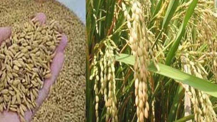 ilustrasi benih dan tanaman padi. sumber: internet
