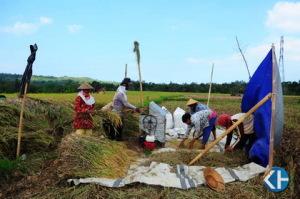 Petani ketika panen
