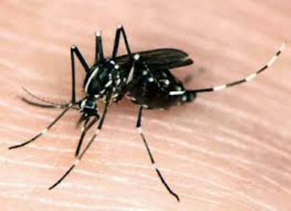 Nyamuk Aedes Aegepty. Foto: Atmaja.
