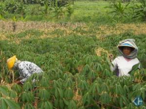 Pertanian di Gunungkidul. Foto: Kandar.