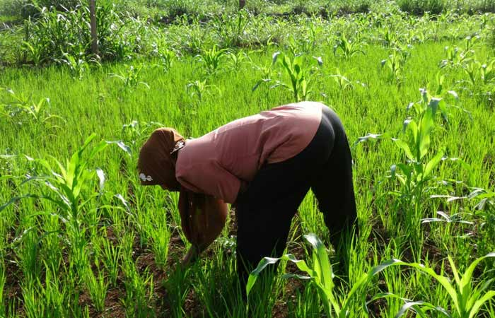 Petani Banyumanik Semanu sedang menyiangi tanaman padi. Foto: Maryanto.