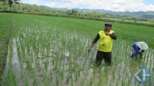 Sukat sedang menyiangi tanaman padinya. foto : Atmaja