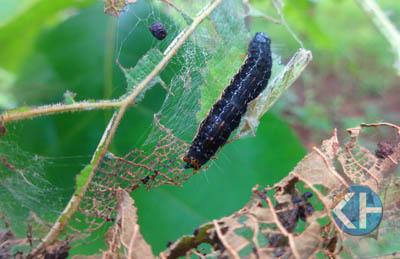 Ulat jati memakan daun jati hingga habis. Foto : Sumaryanto