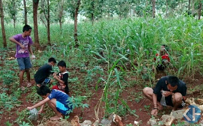 Warga berburu ulat jati.Foto : Sumaryanto