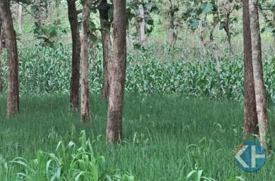 Ladang di antara pohonan jati. Foto : Maryanto.