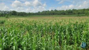 Ladang jagung di Banyusoco Playen. Foto: Atmaja.