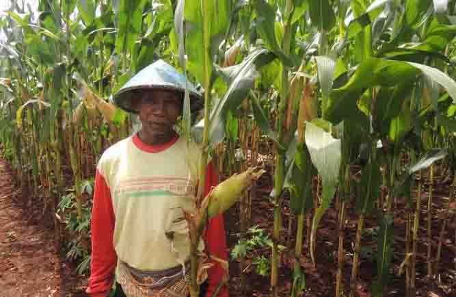Petani dengan ladang jagungnya. Foto : Kandar