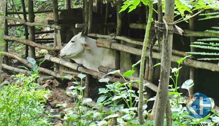 sapi di kandang