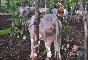 Sapi PO milik kelompok ternak di Wonosari. Foto : Kandar.