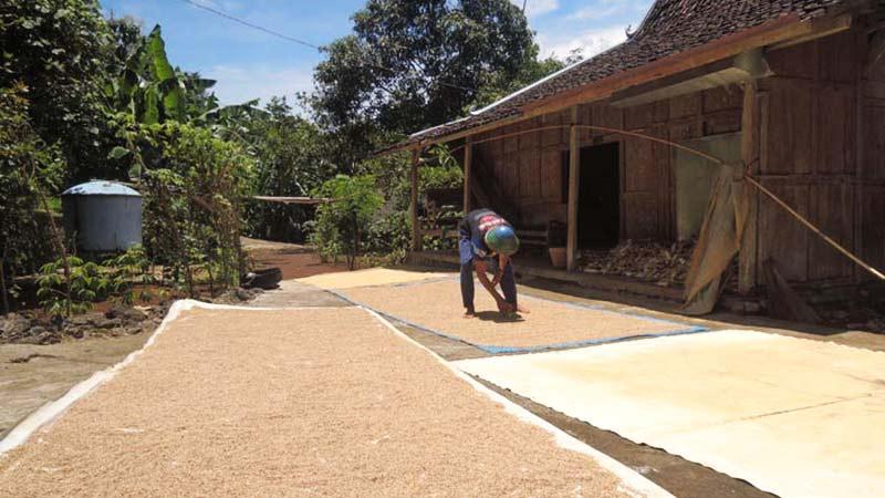 Petani menjemur hasil panenannya. Foto: Kandar.
