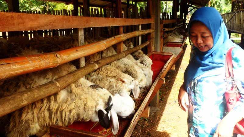 Bantuan kambing dari alumnus SMA Muh 1 Yogyakarta ke PP Al Hikmah Karangmojo. Foto: Sarwo.
