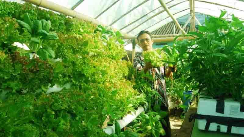 Budi Kuncoro dengan tanaman hidroponik
