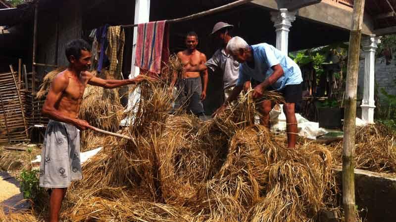 Jerami fermentasi alternatif pakan ternak di musim kemarau. Foto: Juju.