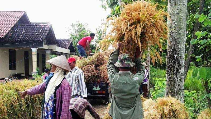 Panenan padi di Desa Pulutan Wonosari. Foto: Kandar.