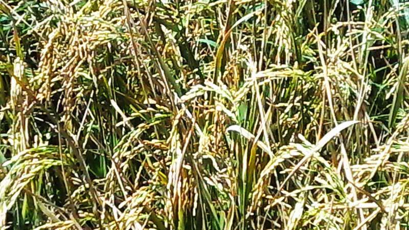 Musim panen padi.