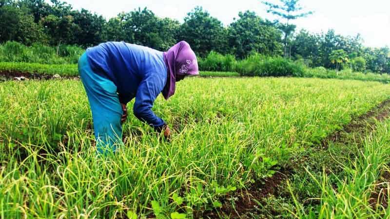 Petani bawang merah di Desa Karangrejek Wonosari. Foto: Juju.