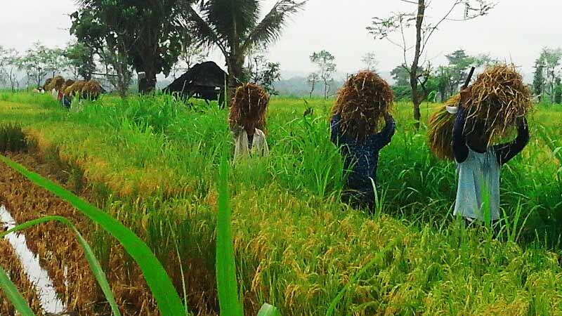 Petani mengangkut hasil panenan padi. Foto: Atmaja.