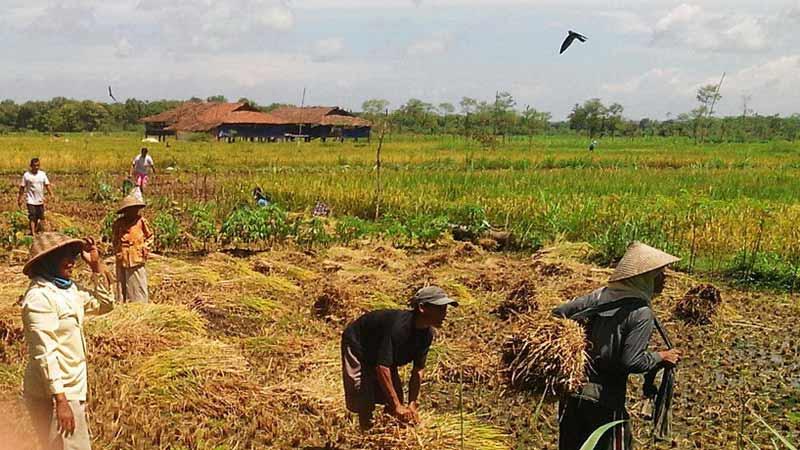 Sambatan panen padi di Desa Wunung Wonosari. Foto: Atmaja.