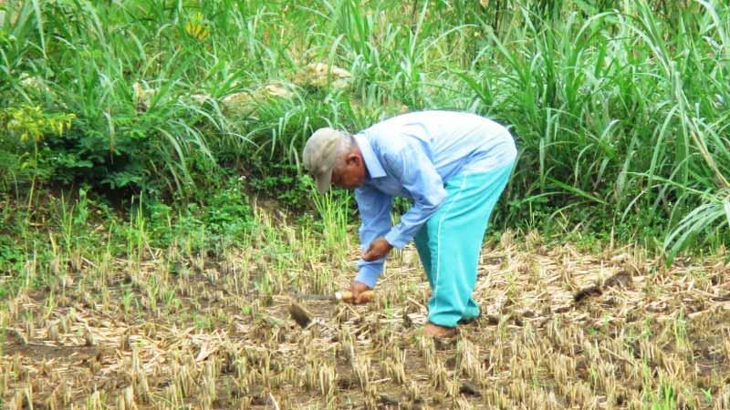 Petani mulai tanam musim marengan. Foto: Atmaja.
