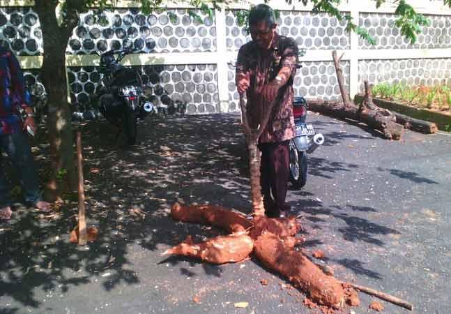 Ketela raksasa dipanen Camat Patuk Haryo Ambar. Foto; Arif