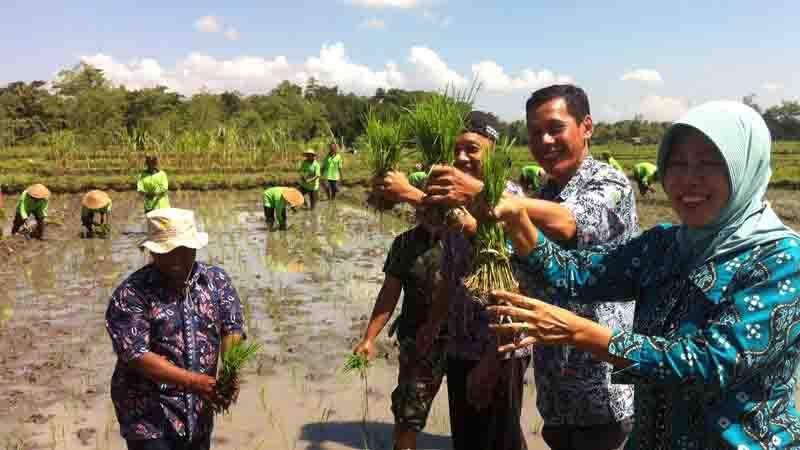 Penanaman padi musim tanam kedua. Foto : Juju