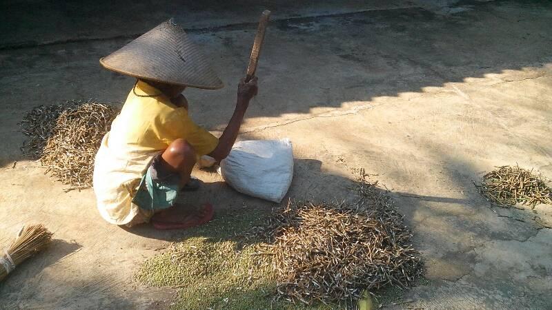 Proses mengupas kacang hijau. Foto : Atmaja.