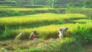 Warga Wilayah Kecamatan Gedangsari sedang melakukan Panen Padi. KH/Atmaja