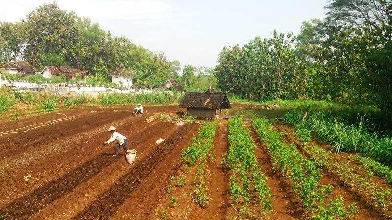 Petani bawang Desa Karangrejek. KH/Atmaja.