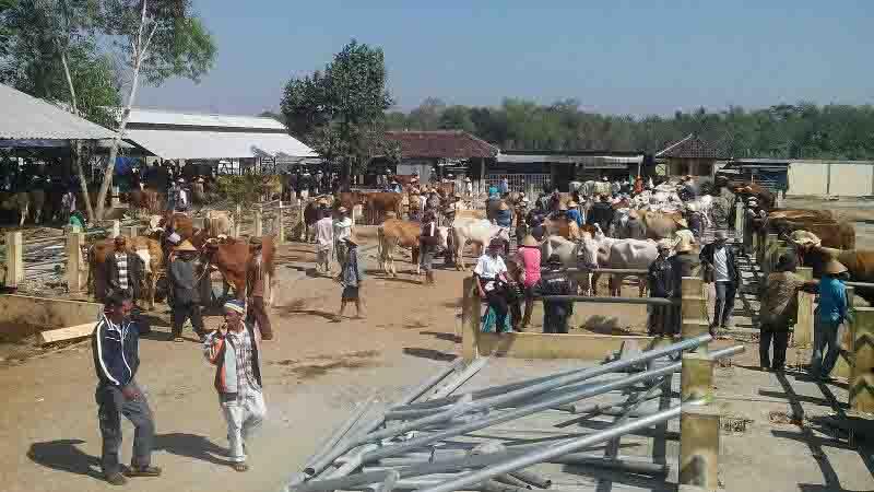 Pasar sapi sihono. Foto : Atmaja