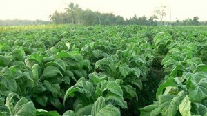Foto : Kebun tembakau, Sumber: internet.