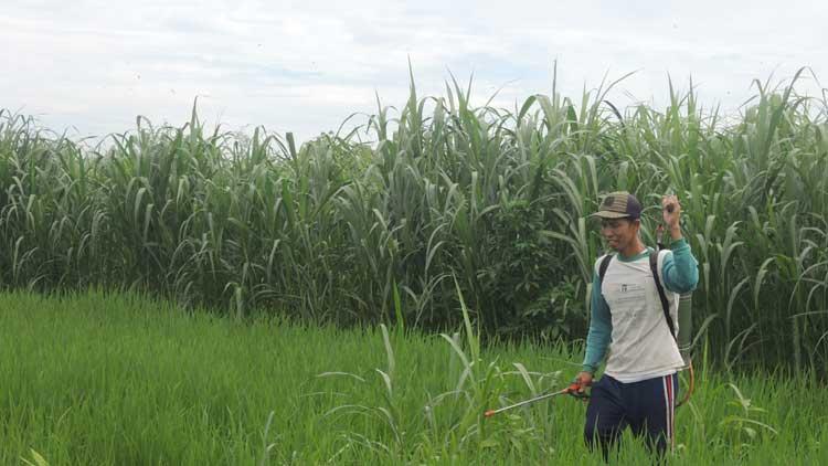 Petani melakukan penyemprotan. KH/ Kandar