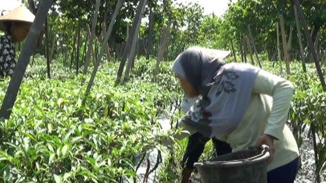 Petani cabai di Playen lebih untung dengan pengairan sistem infus. KH/ Edo