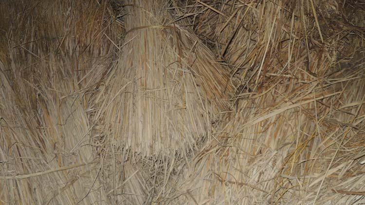 Pembuatan pakan fermentasi sebagai optimalisasi melimpahnya jerami paska panen. KH/ Kandar