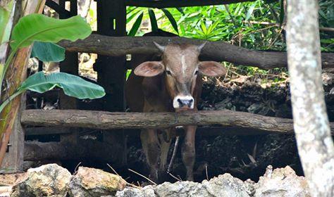 Tipikal kandang sapi di wilayah Gunungkidul. KH/Kl