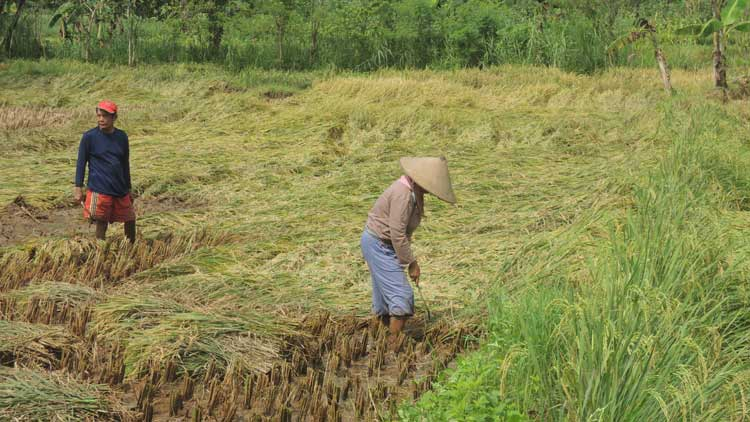Petani di wilayah Kecamatan Semin melakukan panen lebih awal karena padi roboh. KH/ Kandar