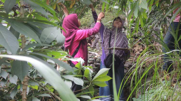 Peneliti dari BPTP mengecek pertumbuhan ubi kayu di Paliyan. KH/ Kandar