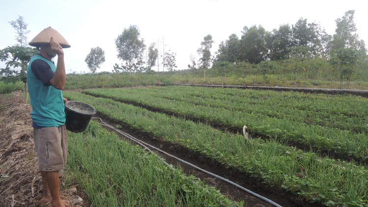 Rukino Petani bawang merah di Desa Karangrejek. KH/ Kandar