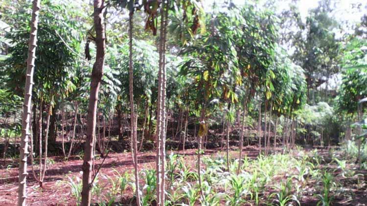 Akibat hujan, petani menunggu waktu yang tepat untuk panen ketela. KH/ S. Yanto