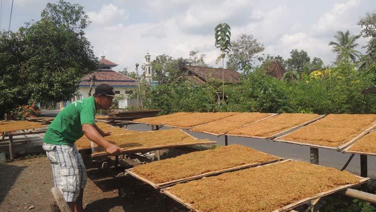 Endi Widayatna, Petani tembakau asal Pampang, Paliyan sedang menjemur hasil panen. KH/ Kandar.