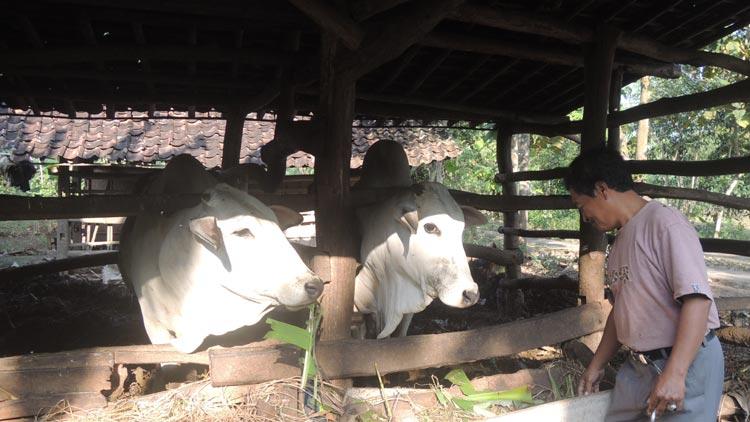Ton Martono, Warga Desa Karangrejek hendak memberikan pakan ternak fermentasi hasil buatannya. KH/ Kandar.