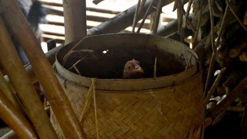 Babon angrem, indukan ayam sedang mengerami telurnya. KH/WG.