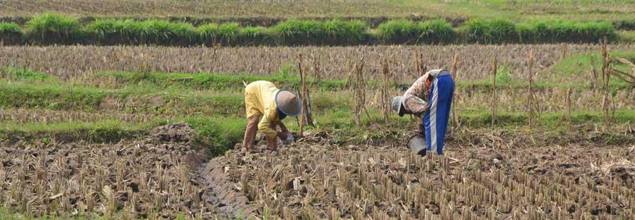 Petani Gunungkidul setia mengolah lahan kering tadah hujan. KH/WG.