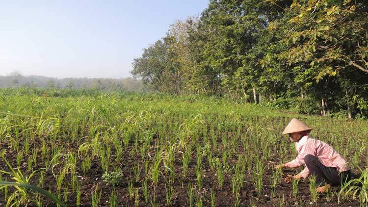 Petani Gunungkidul sebagian masih menggunakan Pranata Mangsa sebagai prediksi waktu pertanian. KH/ Kandar