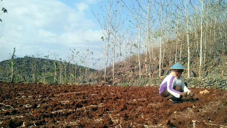 Petani di wilayah Paliyan sedang mempersiapkan lahan. KH/ Kandar
