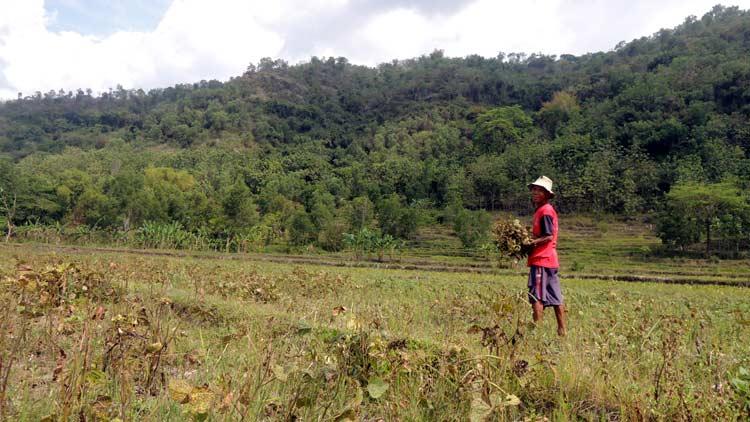 Giman, Petani Kecamatan Ngawen di perbatasan Gunungkidul-Klaten sedang memanen Kacang Hijau.
